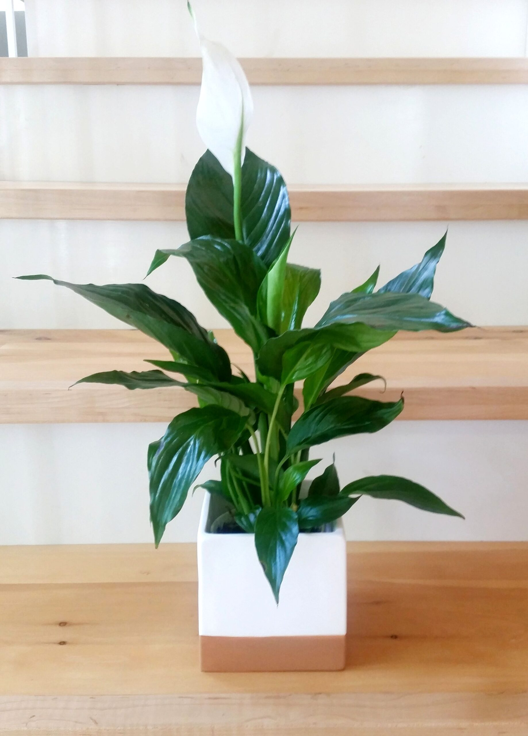 Peace Lily. Plants for Your Office Desk